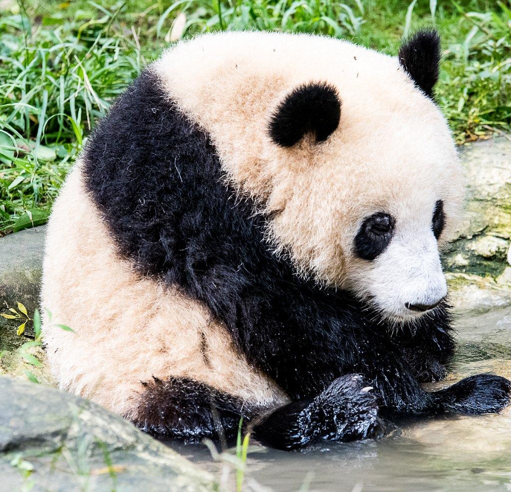 Panda-DSC-4630-1200.jpg