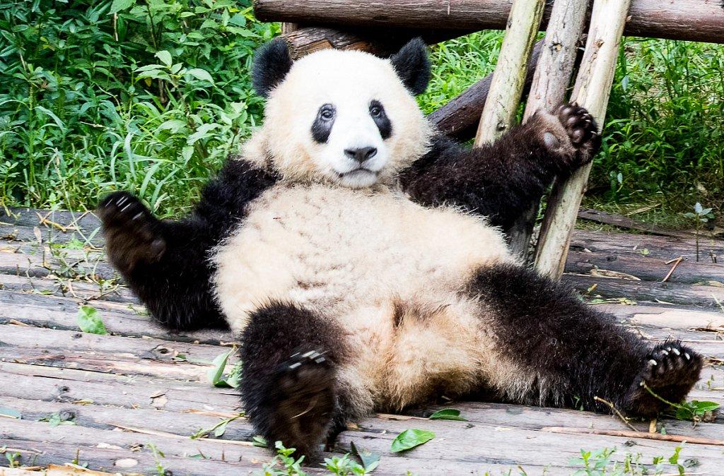 Panda-DSC-4723-1200.jpg