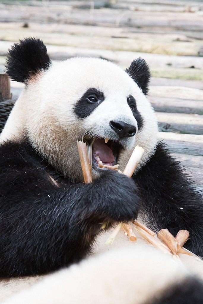 Panda-DSC-4585-1200.jpg