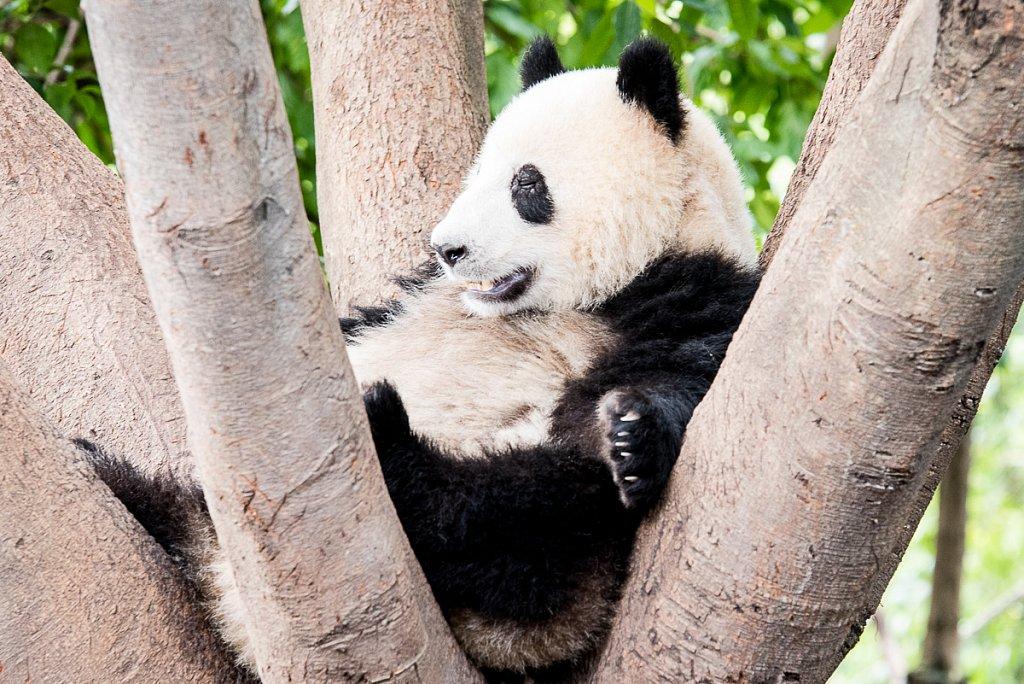 Panda-DSC-4616-1200.jpg
